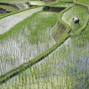 RICE FIELD TERRACES